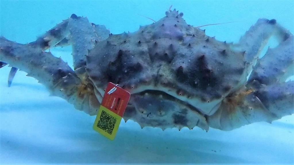 AAC in actie tegen uithongering kreeften en krabben