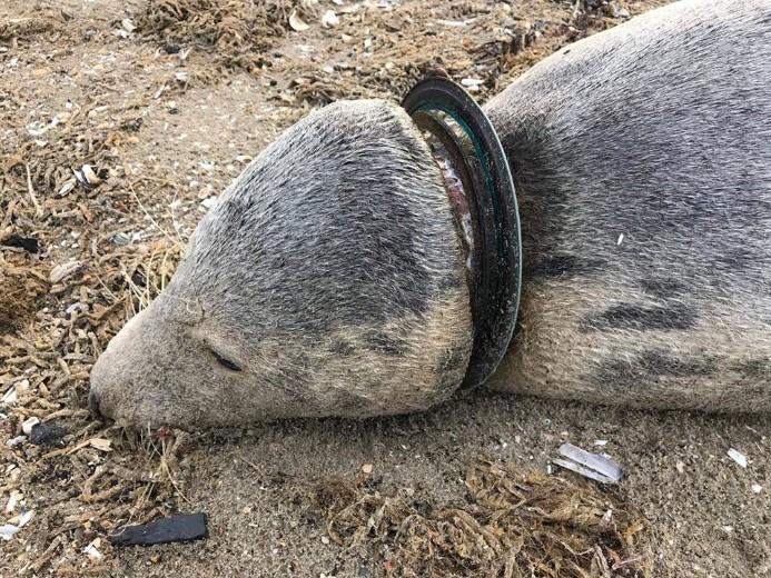 Zeehonden gestorven door menselijk toedoen