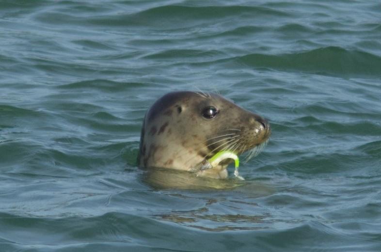 Grijze zeehond met vishaak in bek