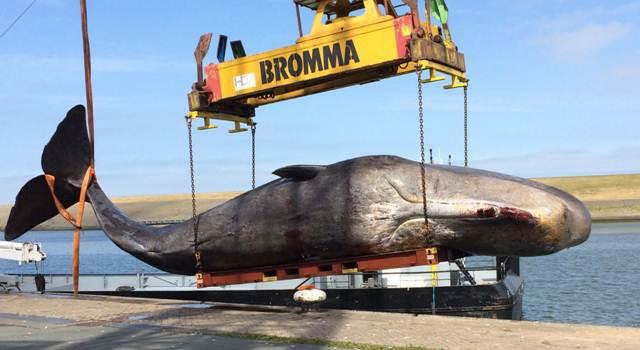 Vijftig ton potvis aangekomen in Harlingen