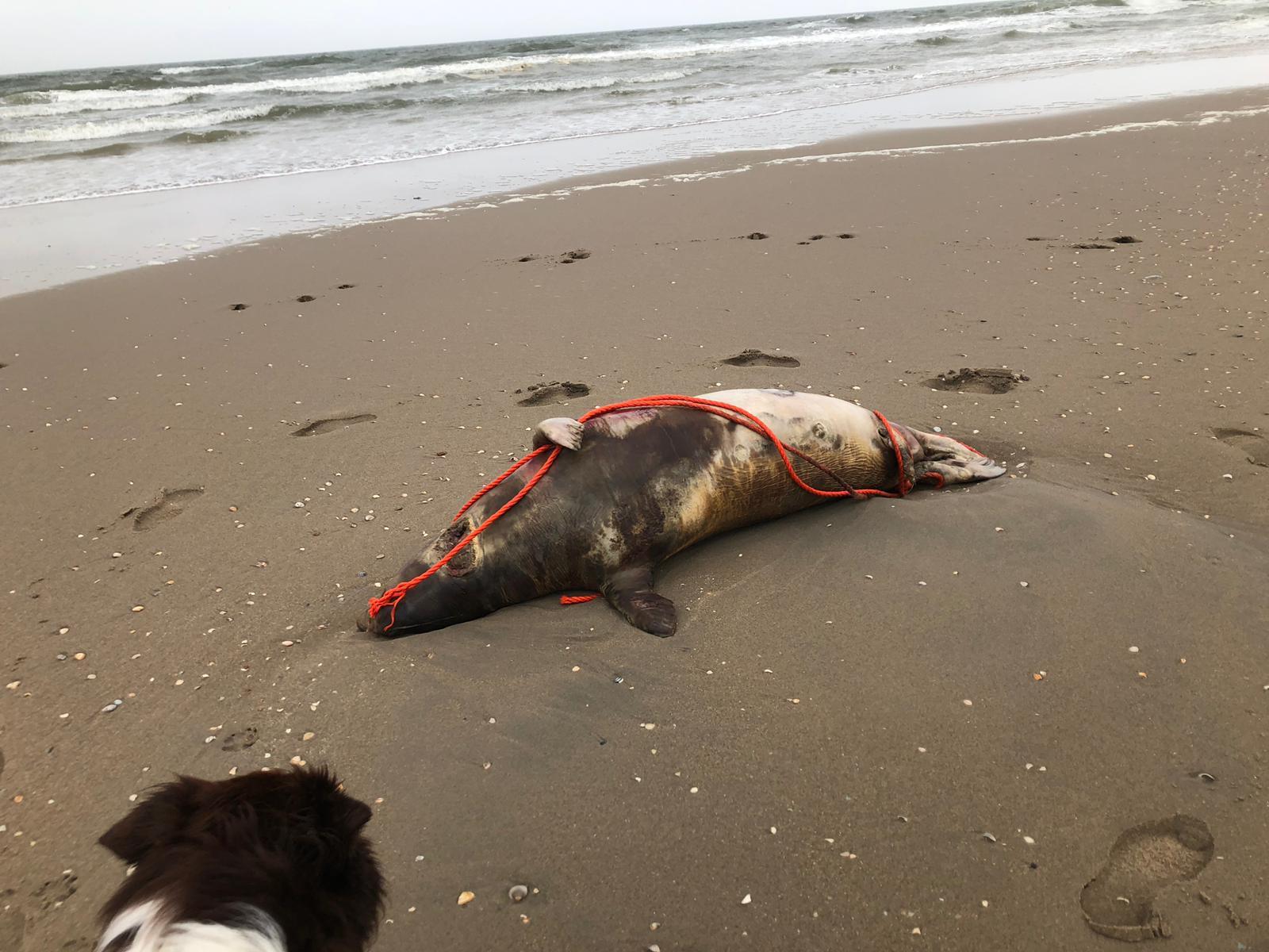 Dode zeehond bij strand Ter Heijde