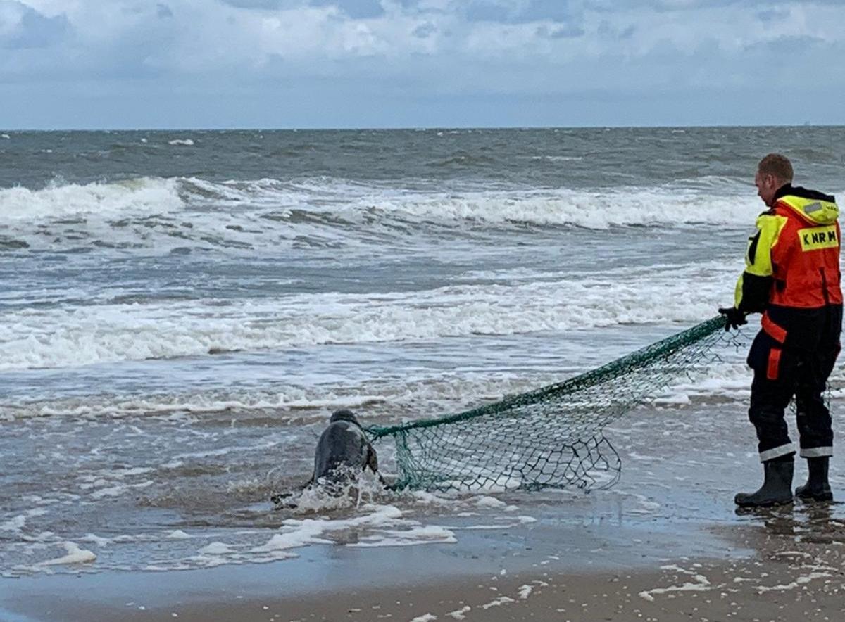 Zeehond met visnet aangespoeld bij Ter Heijde