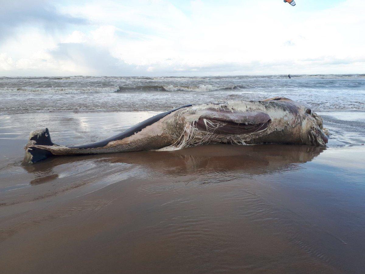 Groot kavader aangespoeld op het strand
