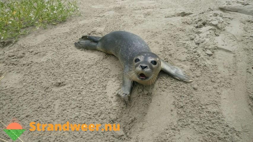 Jonge zeehond gevonden in de duinen