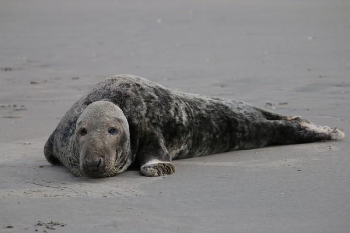 Zeehond 57 op het strand van 's-Gravenzande