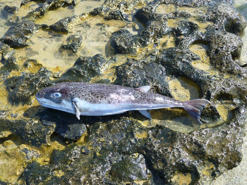 Giftige hazenkopvis gevonden op strand Renesse