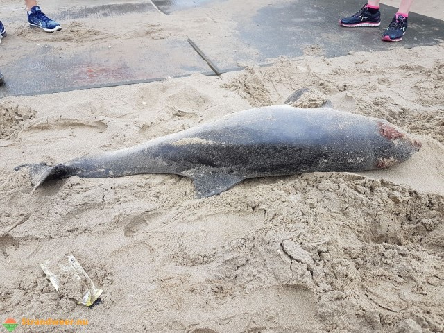 Dode bruinvis aangespoeld bij Kijkduin