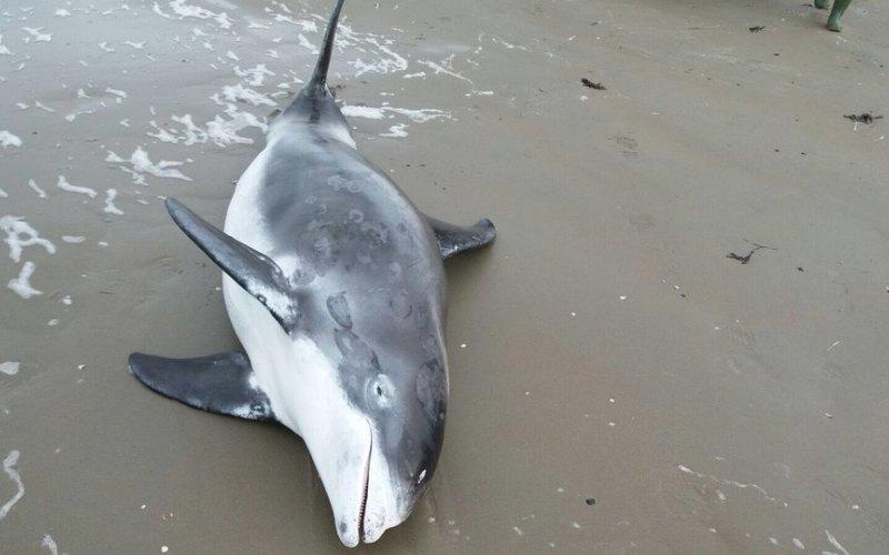 Witsnuitdolfijn gestrand bij Wijk aan Zee