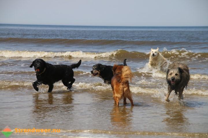 Laatste dag honden op Vlissingse strand