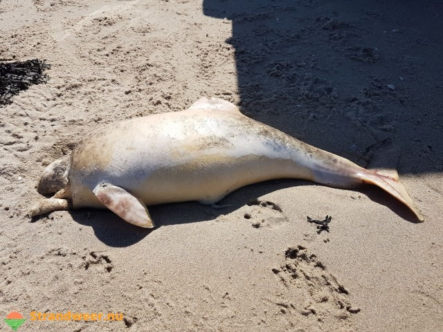 Bruinviskalf aangespoeld op de Zandmotor