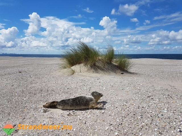 Zeehond gevonden op de Zandmotor