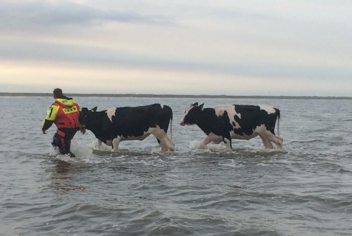 Koeien op stap in de waddenzee