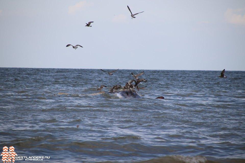 Dode Vinvis voor de Westlandse kust