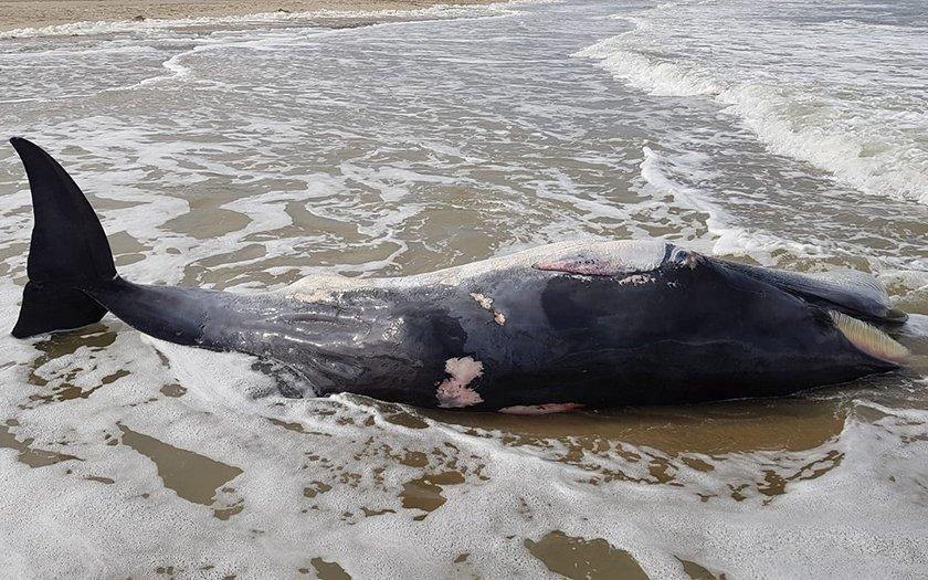Resultaat van onderzoek naar dode dwergvinvis Texel