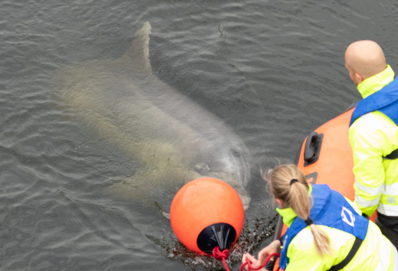Dolfijn Zafar dood aangespoeld bij Wijk aan Zee