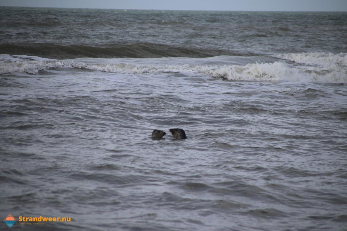 Spelende zeehonden voor de kust van Ter Heijde
