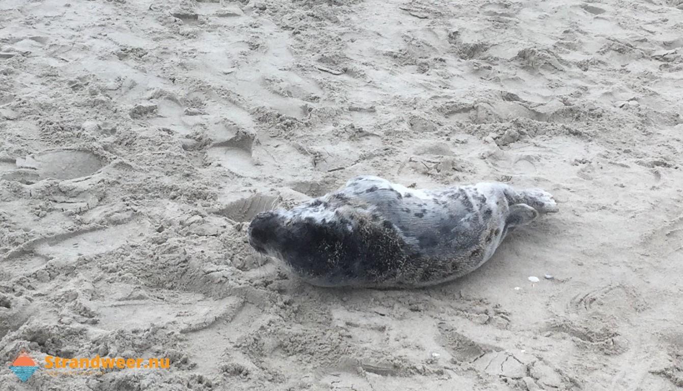 Huiler op bezoek bij strand Ter Heijde