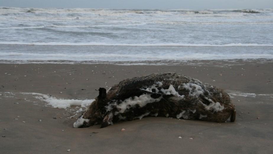Slachtvee op het strand aangespoeld