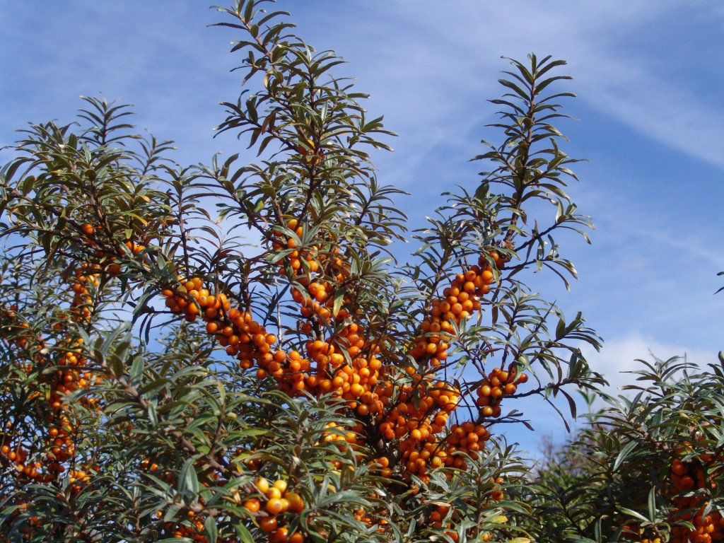Duindoornbessen: rijk aan vitamine C